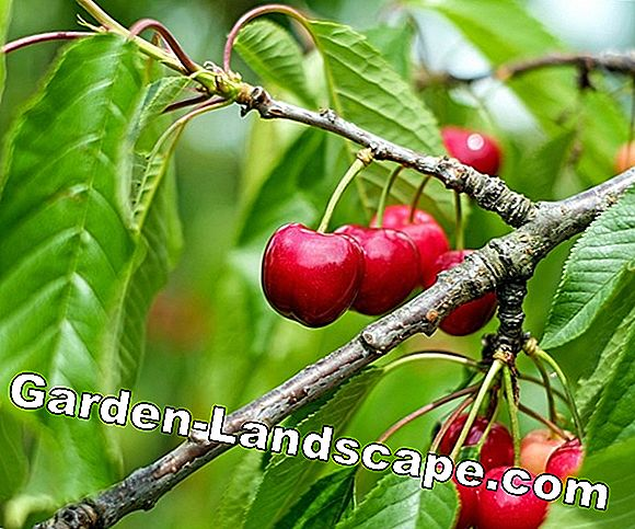 Sour cherry tree - care and cutting of sour cherry