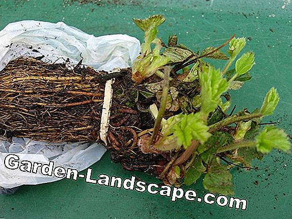 Grow strawberry plants - plants and care instructions