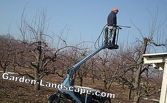 Cutting sweet cherry, pruning, cut, cherry