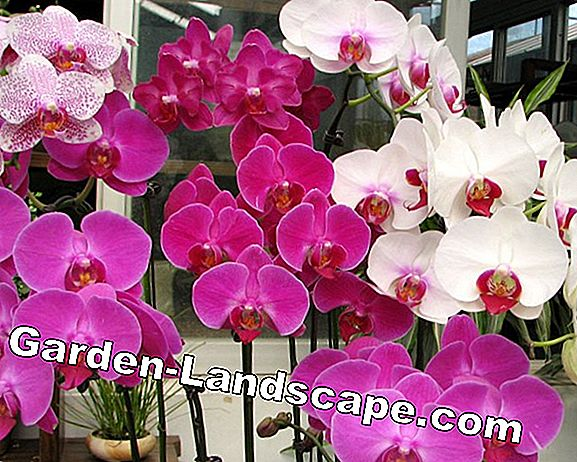 Maintain orchids properly: tips from the experts