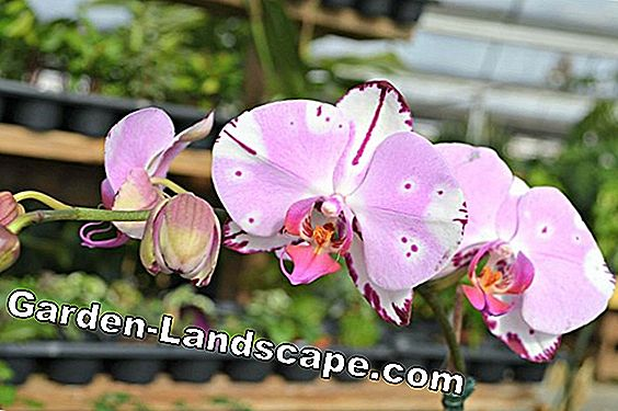 Fertilize orchids properly