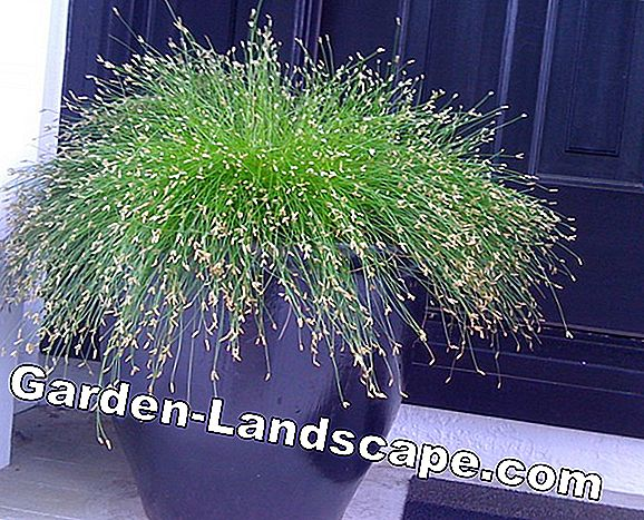 The most beautiful ornamental grasses for pots