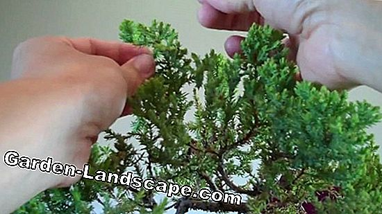 Juniper cutting - Tips and tricks for the successful hedge and shape cutting