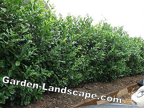 Cut cherry laurel properly