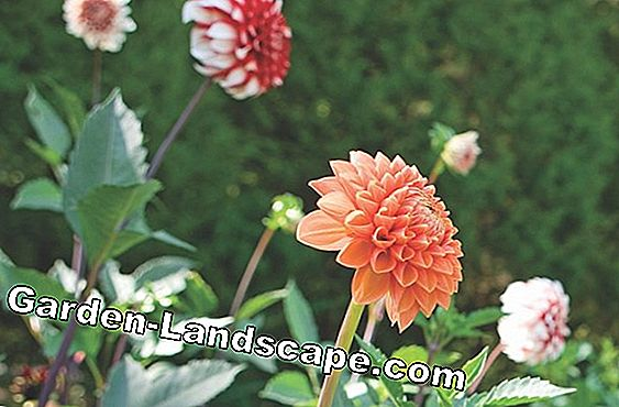 Dahlias hibernate properly
