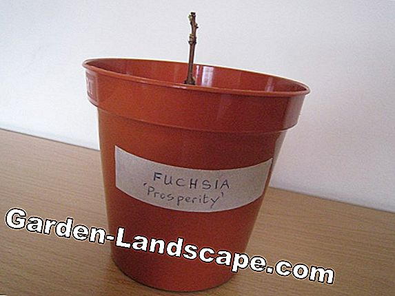 Increase fuchsias by cuttings