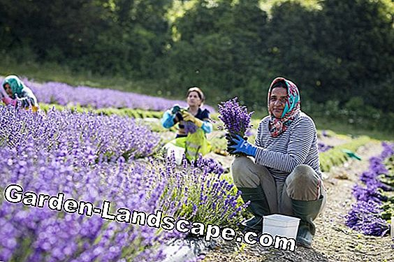 Produce lavender oil: Preserve the fragrance of the south