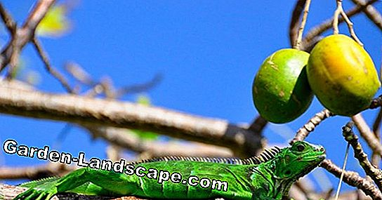 Mango tree by yourself - Mango breed - mango plant