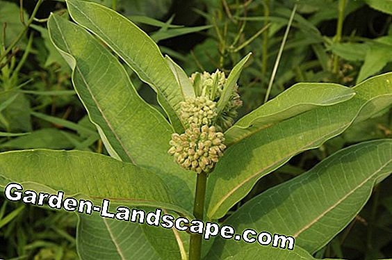 Parrot plant (Asclepias syriaca) - care, overwinter, use