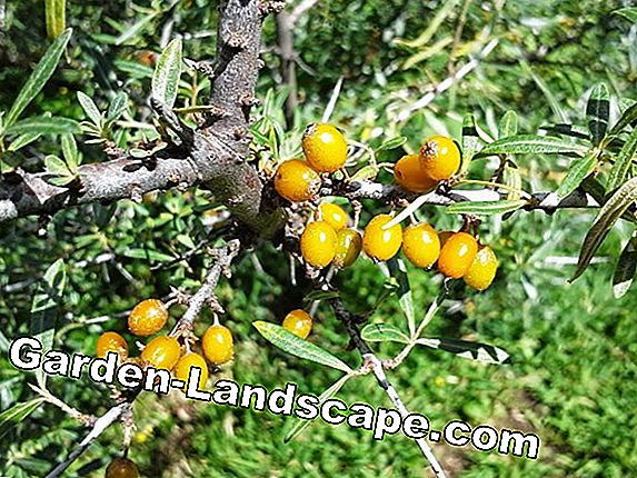 Harvesting Sea Buckthorn: The Tricks of the Pros