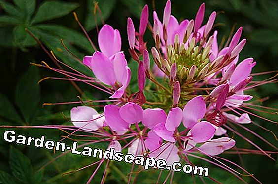Spider flower (Cleome spinosa) - care, overwinter