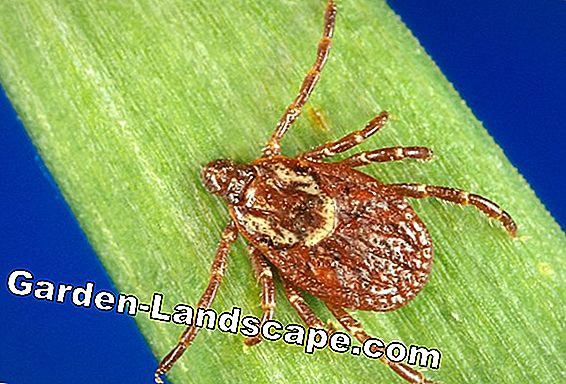 Agent for grass mites in humans and dogs