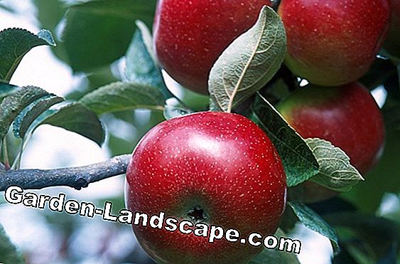 Apple Scab - Fight scab fungi successfully with these products