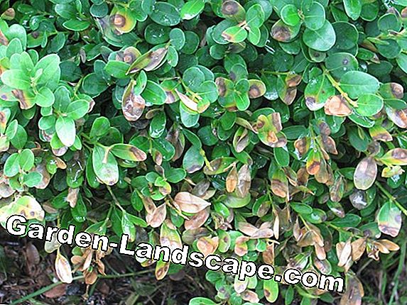 Boxwood diseases - recognize and fight
