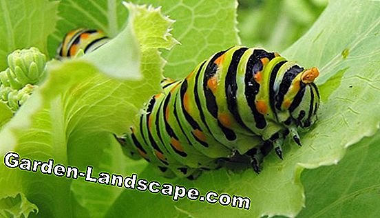 Control of caterpillars - in gardening and viticulture