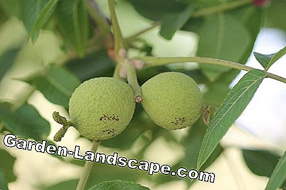 Diseases and pests on the walnut tree: 19 helpful measures