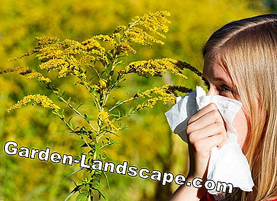 Fighting ragweed - biological sprays