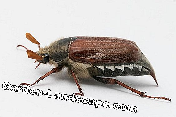 Are cockchafer and junic beetle dangerous? Tips to get rid of