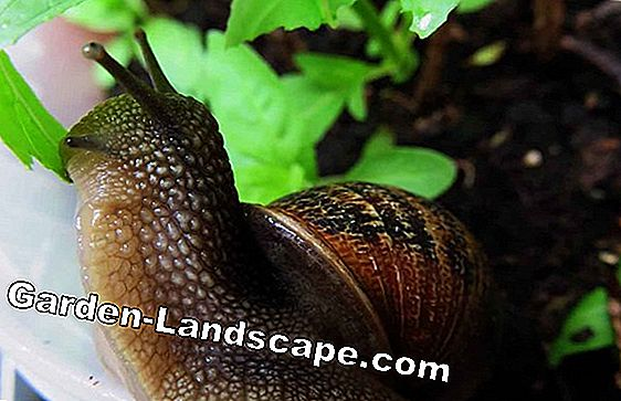 Snails despite snail fence - what really helps?