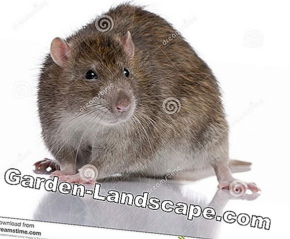 To recognize and sell brown rat in the garden - that's how it works