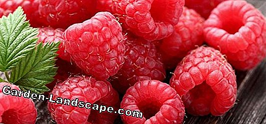 10 Tips about raspberries