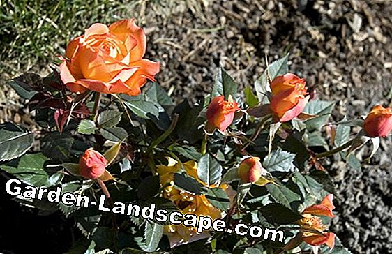 5 Expert Tips for Rose Care