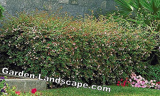 Abelie, Abelia Grandiflora - care and cutting