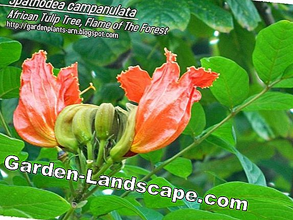 African Tulip Tree, Spathodea campanulata - Care of A-Z