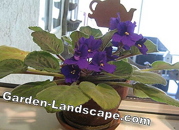 African Violet is not blooming? How to make it bloom!