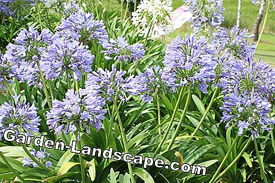 Agapanthus: care and overwintering