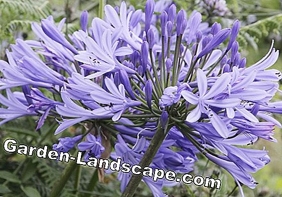 Agapanthus care: wintering, repotting and fertilizing