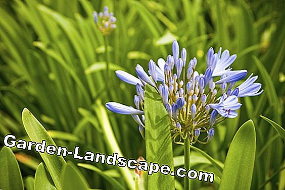 Agapanthus does not bloom - that's how lilacs bring new flowers