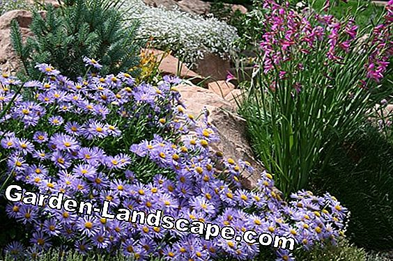 Alpine aster, Aster alpinus - plants and care
