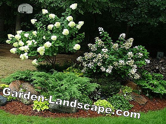 Evergreen globe trees for the front yard - species