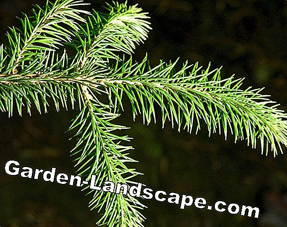 Evergreen plants & trees