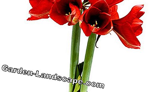 Amaryllis: waxed or natural?