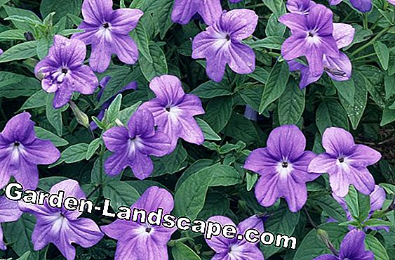 Annual and perennial flowering groundcover