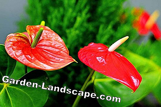 Anthurium, flamingo flower - care, repotting and fertilizing