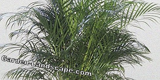Areca palm, Dypsis lutescens - care and wintering