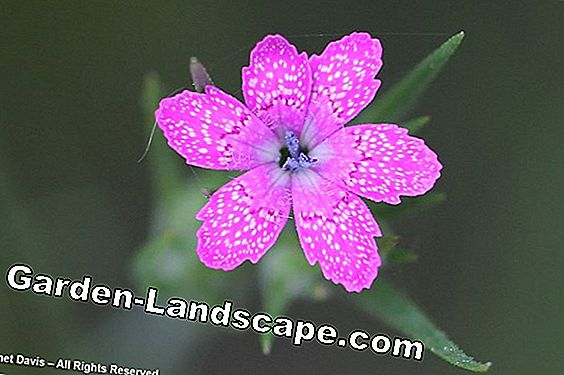 Clove, Armeria - varieties, care and information on hardiness / toxicity