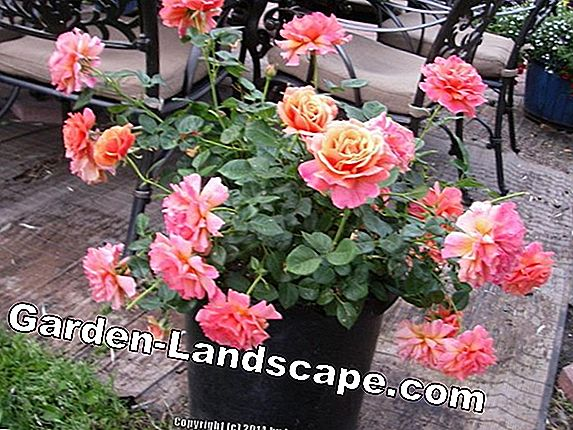 How climbing roses grow better - care and cut