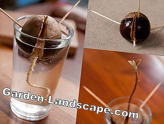 Plant avocado seeds - this is how you grow an avocado tree