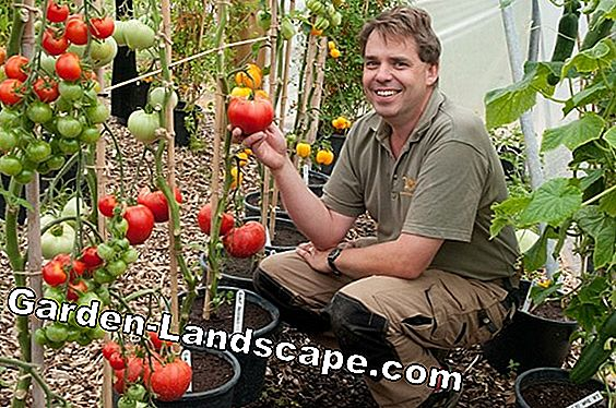 Balcony tomatoes: The best varieties