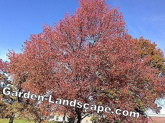 Ball Log Tree, Liquidambar styraciflua Gumball - Nursing Guide