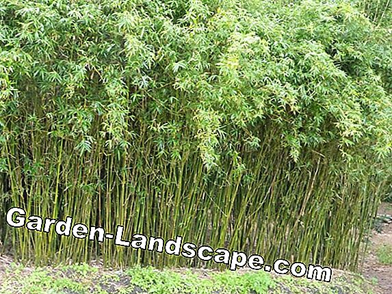 Bamboo as a screen: attach a bamboo fence