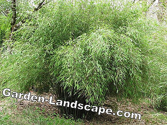 Cutting bamboo - Instructions for bamboo plants