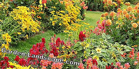 Beautiful flowering perennials - annual and hardy perennial