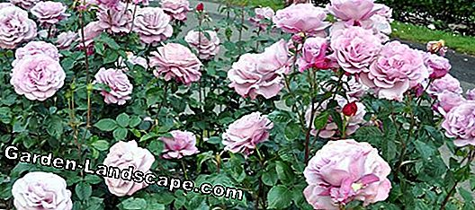 Plant bed roses and grow properly