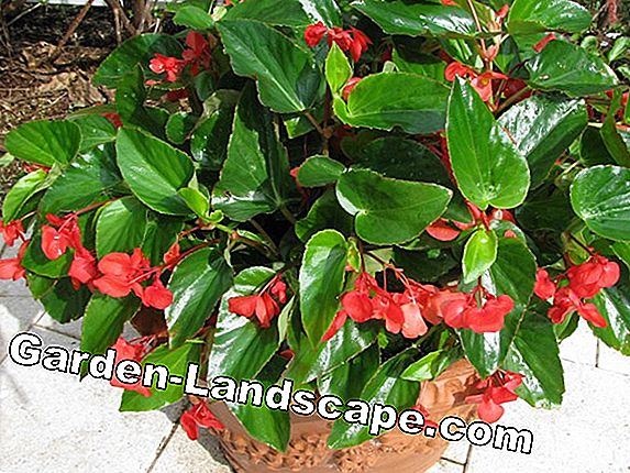 Begonias - care, plants and fertilizers