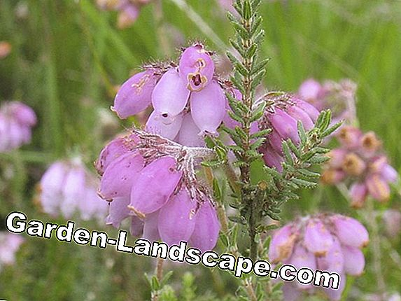 Glockenheide, Erica tetralix & gracilis - plants and care